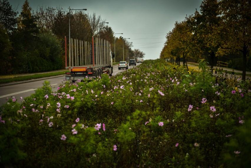 Kwietne łąki w Białymstoku przekwitają. To okazja do zbioru...