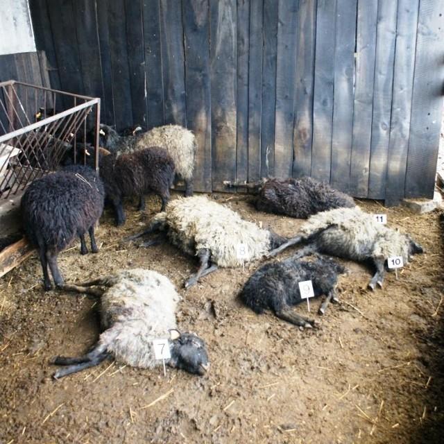 Na pastwisku i w zagrodzie pozostało 13 rozszarpanych i 10 okaleczonych owieczek
