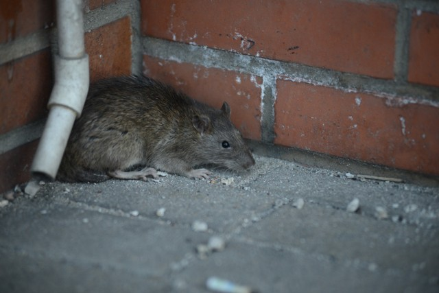 Regularne akcje deratyzacyjne zapobiegają rozmnażaniu szczurów na terenie Poznania.