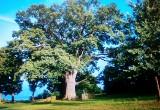 Dąb Bolko ma ponad 25 m. I szanse na tytuł Europejskiego Drzewa Roku!