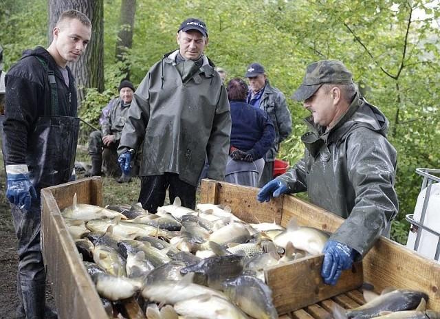 Tegoroczne odłowy karpi na stawie w Oldrzyszowicach w PGR Niemodlin. Najpierw spuszcza się wodę, a potem zbiera ryby do sieci.
