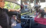 Prezydent Katowic wozi psa na kokpicie auta. Tak nie powinno się przewozić czworonoga samochodem