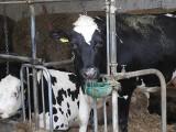 Na 100 hektarów w woj. podlaskim przypadają blisko 42 sztuki bydła. W tej dziedzinie podlaskie zostawia w tyle cały kraj!
