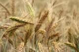 Zbiory zbóż w Polsce według danych GUS o 18% mniejsze w 2018 roku. Podsumowanie sezonu