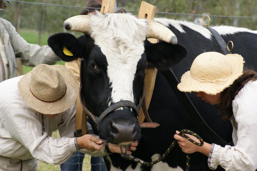 W weekend będzie można zobaczyć zwierzęta gospodarskie przy pracy