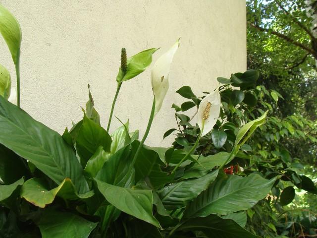 Letni pobyt na balkonie lub tarasie jest korzystny dla wielu roślin domowych. Trzeba jednak pamiętać, żeby zapewnić odpowiednie warunki dla danego gatunku.