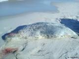 Kolejna zabita foka w powiecie puckim. Młodą martwą fokę znaleziono na Rybitwiej Mieliźnie. Kto zabija foki na Pomorzu?