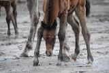 Młode konie w Stadninie Koni Michałów. Mają tylko kilkanaście dni. Zobacz zdjęcia