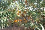 Rokitnik: superfood i ładny krzew do ogrodu. Posadź go jesienią. Jak uprawiać rokitnik i jakie ma właściwości zdrowotne?
