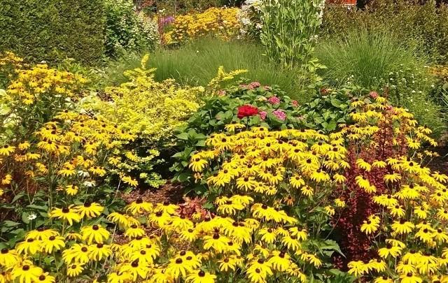 Żółte kwiaty pasują do każdego ogrodu. Ten kolor kwiatów wyraźnie odcina się od zieleni liści i łodyg, więc już niewielka ich ilość jest dobrze widoczna. Żółte kwiaty rozjaśniają i ożywiają rabaty, a wśród roślin, które kwitną na ten kolor znajdziemy jedne z najwcześniej kwitnących, ale także – najpóźniej. Słowem – żółtymi kwiatami możemy się cieszyć od przedwiośnia, do niemal początków zimy. Zobacz 15 roślin, które mają żółte kwiaty (w kolejności kwitnienia).