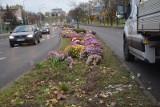 Z ulic Zielonej Góry zaczęły znikać chryzantemy, które miasto zakupiło od kwiaciarzy