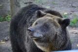 Niedźwiedzica Ewka z pociskiem w pysku! Akcja saperów w poznańskim ZOO