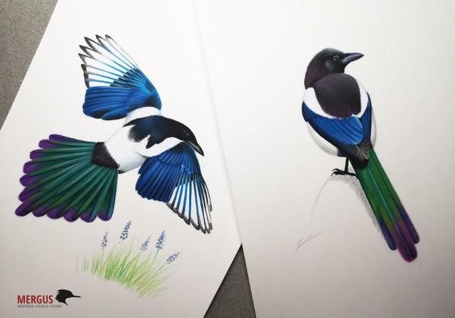 Sroki kreski Dawida Kilona. - Często moje rysunki zaskakują ludzi, bo nagle dowiadują się, że w Polsce może być nawet siedem gatunków sikor, a sroka w słońcu nie jest wcale czarno-biała - mówi ornitolog.
