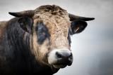 Spadają ceny za bydło mięsne dla producentów w Świętokrzyskiem. Przez koronawirusa
