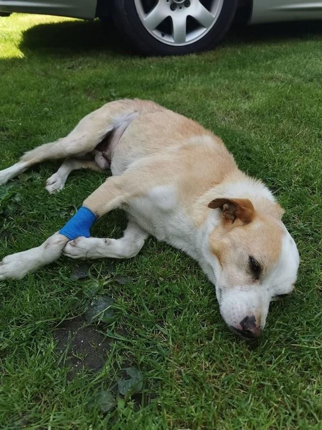Łatek został postrzelony z wiatrówki i przeszedł poważną operację. Wraca do zdrowia, ale boi się każdego dźwięku