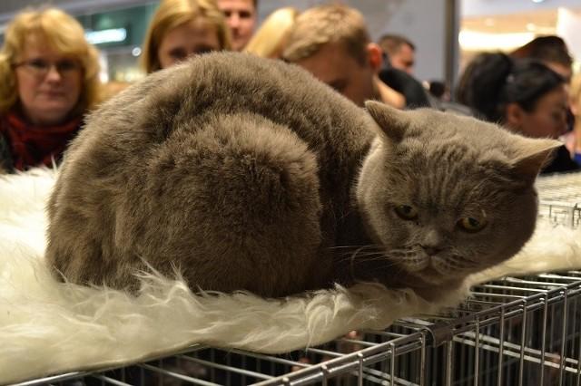 Częstochowa: Wystawa kotów w Galerii Jurajskiej