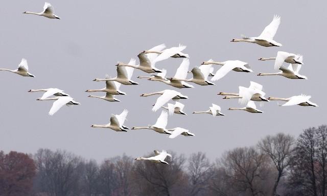 Łabędzie uchwycone na polach w okolicach Starego i Nowego Raduszca, pod Krosnem Odrzańskim.