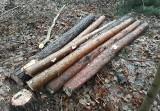 Białystok. Trwa wycinka lasu na Pieczurkach. Mieszkańcy twierdzą, że wbrew zapewnieniom ścinane są nie tylko chore drzewa (zdjęcia)