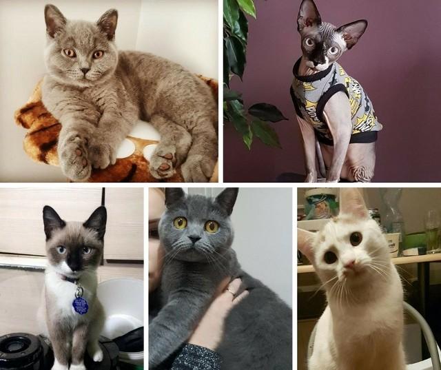 """17 lutego przypada Światowy Dzień Kota. W Polsce obchodzony dokładnie od 2006 roku. To wyjątkowy dzień, który ma podkreślić znaczenia kotów w życiu człowieka. Nie ma też co ukrywać  - wielu z nich na ich punkcie po prostu zwariowało! Każdy kto ma w domu mruczącego sierściucha, dokładnie wie, że jego zachowanie może naprawdę zaskoczyć, rozbawić do łez, a także totalnie nas... rozczulić, czy też wzruszyć. Zróbcie sobie chwilę przerwy i obejrzyjcie wspaniałe zdjęcia kotów naszych Czytelników. A później, nie zapomnijcie wybrać się do sklepu po coś wyjątkowego dla Rudego, Tośki czy Klakiera. <b>Przeczytaj też: </b> <b><a href=""""http://www.gazetalubuska.pl/strona-kobiet/g/17-lutego-swiatowy-dzien-kota-mruczki-opanowaly-internet-zobacz-smieszne-memy-z-nimi-w-roli-glownej-memy,12896083,27329265/""""><font color=blue>17 lutego Światowy Dzień Kota. Mruczki opanowały internet. Zobacz śmieszne memy z nimi w roli głównej [MEMY]</font></a></b>WIDEO: Które zwierzę jest mądrzejsze? Pies, czy kot?<script class=""""XlinkEmbedScript"""" data-width=""""700"""" data-height=""""380"""" data-url=""""//get.x-link.pl/586e9e97-cb65-1014-69e0-366b8a5613e1,acb486be-7eb1-21f6-91cd-b875ff85d05d,embed.html"""" type=""""application/javascript"""" src=""""//prodxnews1blob.blob.core.windows.net/cdn/js/xlink-i.js?v1""""></script><center><div class=""""fb-like-box"""" data-href=""""https://www.facebook.com/gazlub/?fref=ts"""" data-width=""""600"""" data-show-faces=""""true"""" data-stream=""""false"""" data-header=""""true""""></div></center>"""