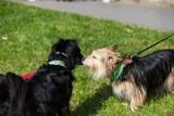 Kraków. Będzie kara za psa bez smyczy od 10 kwietnia czy nie?