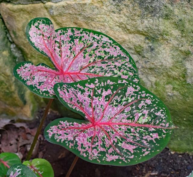 Kolorowe kaladiumKaladium to jedna z najpiękniej ubarwionych roślin doniczkowych. Ma jednak swoje specyficzne wymagania.