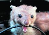 Ciekawskie kuny i supersilne szczury atakują