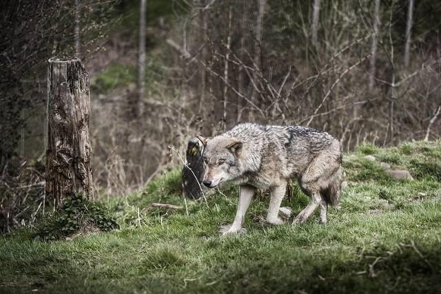 Wilki zagryzły psa w Wilkowisku pod Limanową? Do Nadleśnictwa nie dotarło oficjalne zgłoszenie