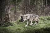 Wilki zagryzły psa pod Limanową? Dzikie zwierzęta zaatakowały w pobliżu osiedla w Wilkowisku, jednak czy na pewno były to wilki?