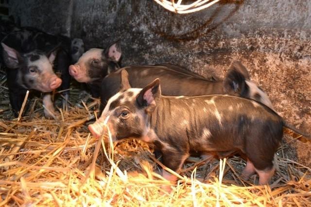 Coraz więcej rolników jest zainteresowanych chowem i hodowlą świń rasy puławskiej