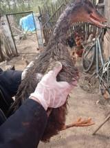 Małe kaczki uwięzione w skrzyni starego tapczanu! Zwierzęta zostały uratowane (ZDJĘCIA)