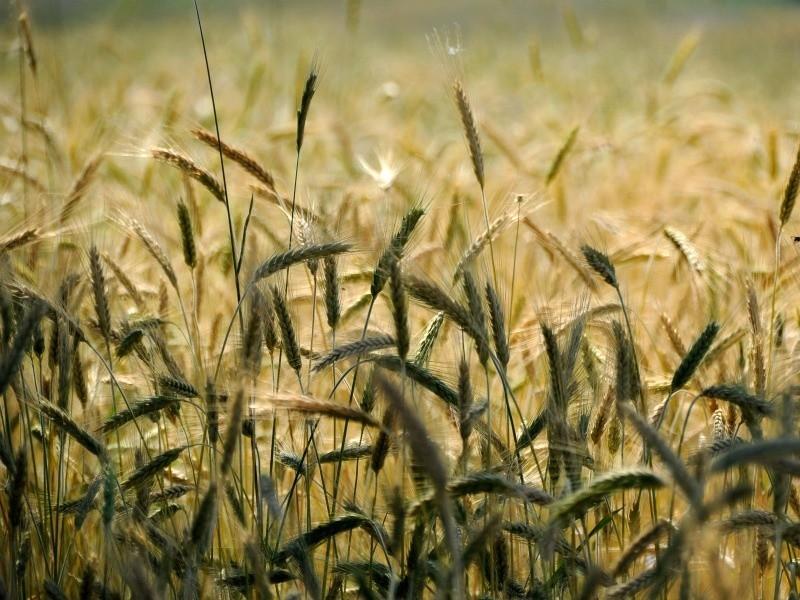Rolnicy uprawiają coraz mniej zbóż, a coraz więcej rzepaku - wynika ze spisu rolnego. Fot. sxc.hu