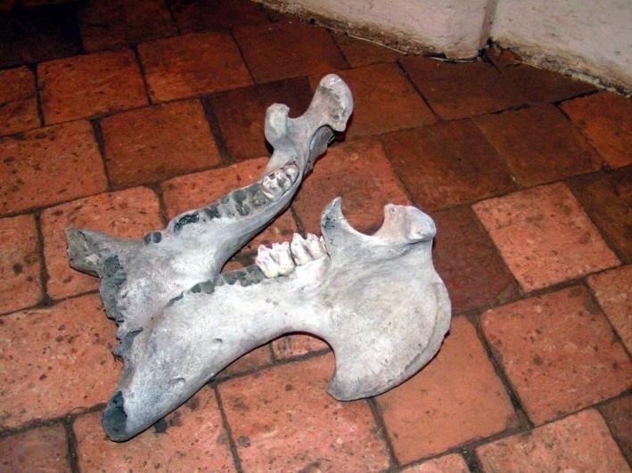 Archeolodzy znaleźli w katedrze także żuchwę mamuta sprzed 12 tysięcy lat.