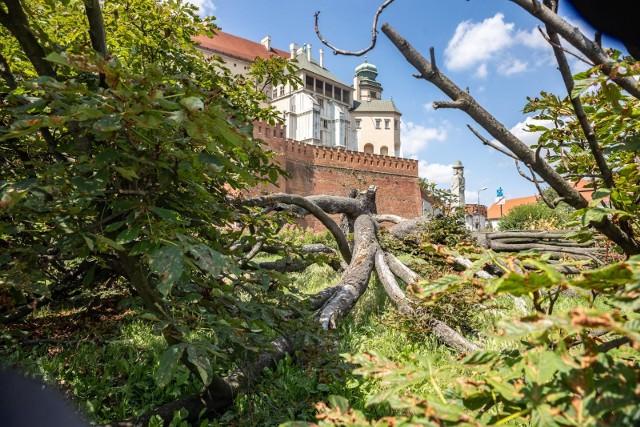 Niezwykły kasztanowiec ucierpiał podczas burzy z początku lipca