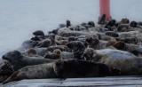 Foki wylegują się na brzegach Zatoki Gdańskiej i Zatoki Puckiej. Najczęściej można je spotkać przy ujściu Wisły