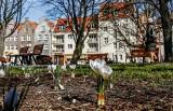 Wiosna w mieście - Gdańsk jest piękny! Te zdjęcia zachwycają - sprawdź, jak kwitnąco wygląda miasto w słoneczny dzień