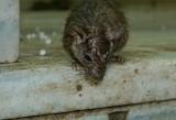 Historia jak z horroru. Po wojnie w jednym z podziemnych pomieszczeń w Kostrzynie chłopca zaatakowały wygłodniałe szczury? To możliwe