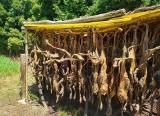 Zwierzęta obdarte ze skóry wisiały na słońcu. Odór zaniepokoił sąsiadów. Szczątki lisów zostały zutylizowane