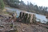 Wycinka drzew w Kędzierzynie-Koźlu. Lasy Państwowe zarobiły grube miliony! Kwota poraża