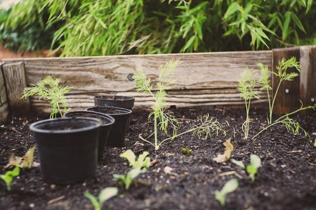 Marzy Ci się uprawa własnych ziół? Sprawdź jak zrobić zielnik