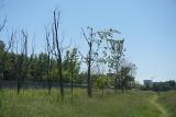Minął już rok od przesadzenia drzew z centrum Lublina. Nie wszystkie udało się uratować