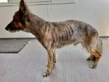 Zagłodzony pies odebrany dwóm kobietom ma do nich wrócić. To decyzja prezydenta Wrocławia Jacka Sutryka
