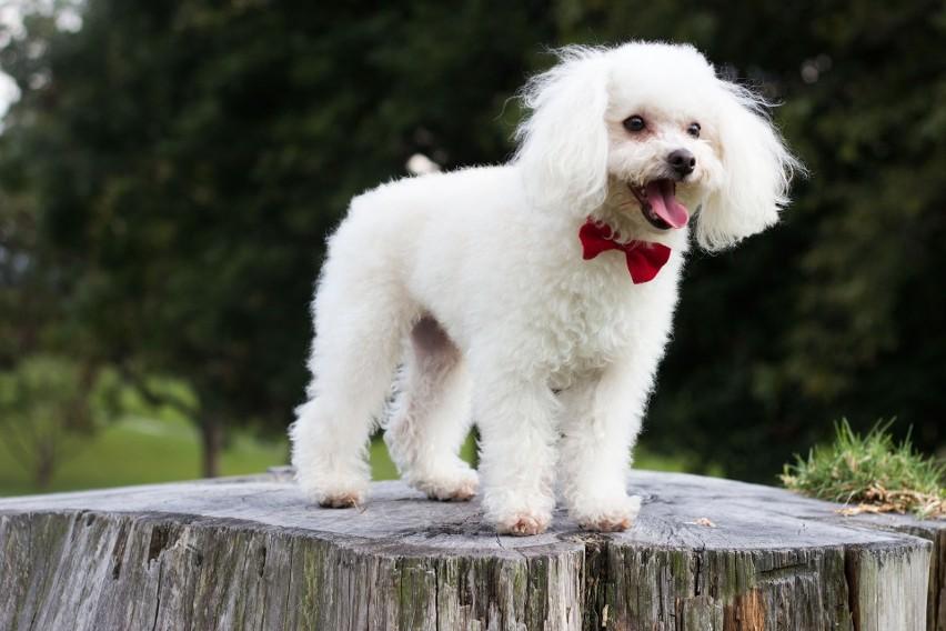 Pudel to nie tylko towarzyski pies, ale też bardzo...