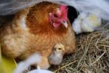 Nie wykluczają grypy ptaków. Co czeka drobiarzy w roku 2018?