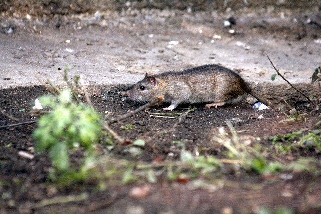 Szczurze bractwo, jak prasa  nazywała  osobników myszkujących w tych rejonach, rozpleniło się nad podziw i w swych działaniach było szczególnie pazerne i zuchwałe.