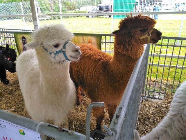 Alpaki znalazły się w gronie zwierząt gospodarskich
