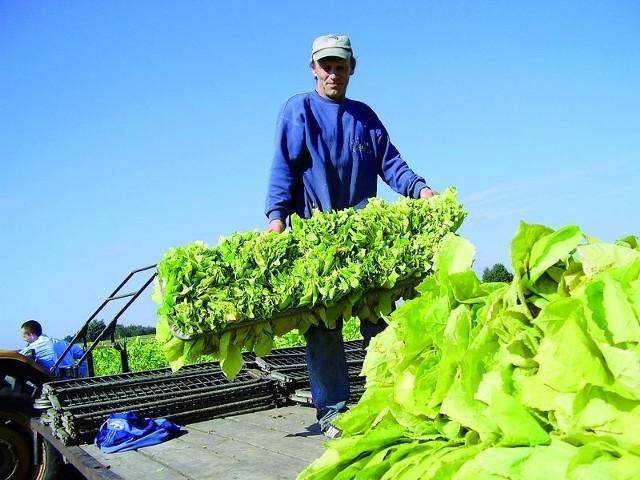 Zbierany ręcznie polski tytoń zyskał sobie markę jednego z najlepszych na świecie