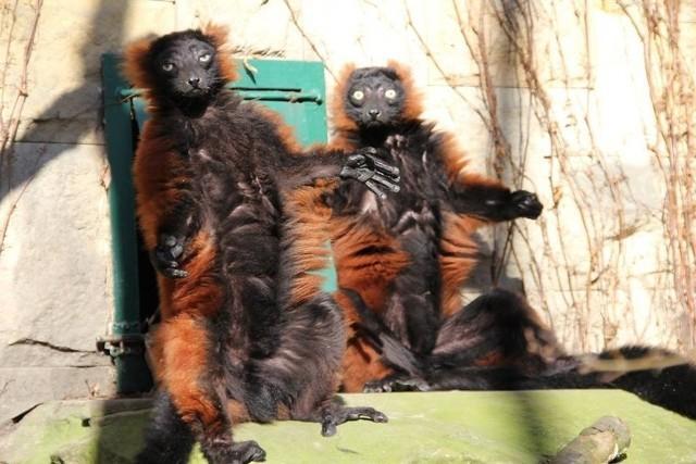 Zoo w Poznaniu: Zwierzaki zażywają kąpieli słonecznych