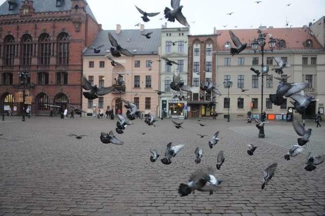Zanim zdecydujemy się nakarmić gołębie może warto pomyśleć o kosekwencjach?
