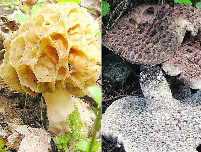 """Smardz jadalny. Gatunek rozwija się w lasach liściastych i mieszanych, także na łąkach i łęgach, często pod jesionami, czasami na wysypiskach porośniętych zielenią. Owocniki wytwarza w kwietniu i maju. To gatunek objęty ścisłą ochroną, a na Czerwonej liście roślin i grzybów Polski należy do kategorii """"R"""" - rzadki. Sarniak dachówkowaty. Grubomięsisty, o średnicy 6-25 cm. Kolor brązowawy z nieco czerwonawym odcieniem. Pokryty na powierzchni grubymi, koncentrycznie ułożonymi łuskami o ciemnej barwie. Rośnie na ziemi, pojedynczo lub w grupach, w lasach iglastych. W niektórych okolicach Polski jest częsty (np. w górach), w innych rzadki."""