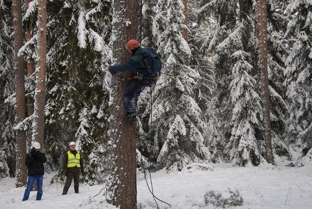 Ponad 17 ton szyszek mają zebrać w bieżącym sezonie leśnicy z  Regionalnej Dyrekcji Lasów Państwowych w Białymstoku oraz pomagający im alpiniści.